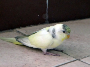 Little yellow parakeet