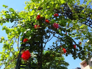 A trellis of roses
